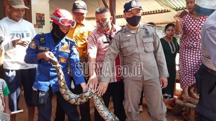 Ular Piton 3,3 Meter Resahkan Warga Dusun Tegal Pelem Tuban, Begini Proses Penangkapannya