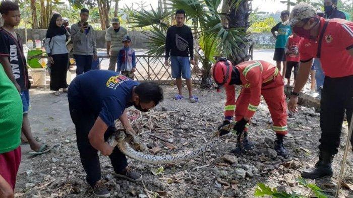 Ular Piton 3 Meter Bikin Heboh Warga Desa Prunggahan Kulon Tuban, Begini Proses Penangkapannya