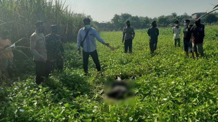 Pria Ditemukan Tewas di Areal Persawahan Kangkung di Desa Pagerluyung Kabupaten Mojokerto