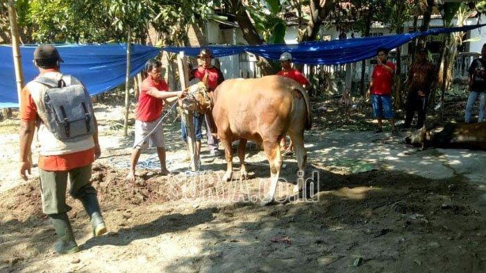 Ditemukan Penyakit Cacing Hati Pada Hewan Kurban Sapi di Pacet Kabupaten Mojokerto