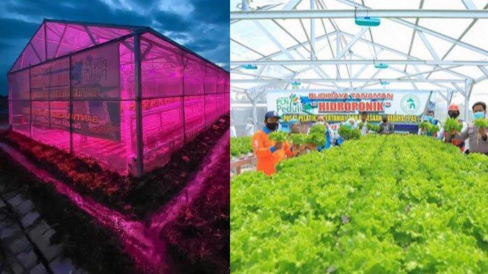 Penggunaan Lampu UV Diakui Terbukti Tingkatkan Produktivitas Tanaman Hidroponik