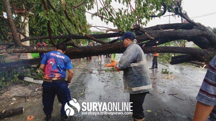 Angin Kencang Terjang Tuban, Pohon Berukuran Besar Tumbang di Jalan Poros