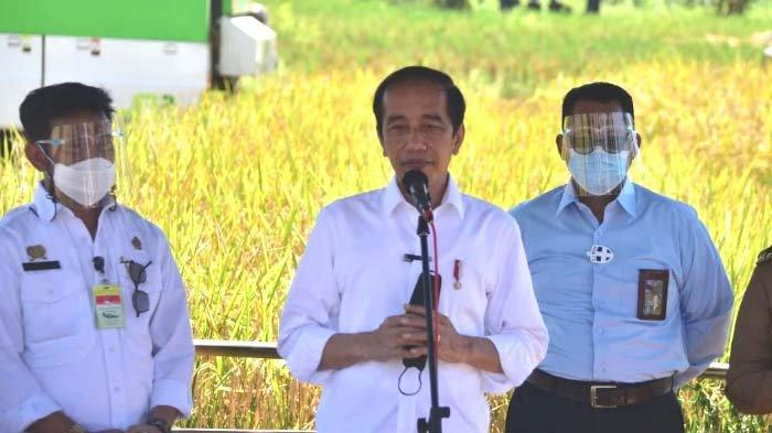 Jokowi di Panen Raya Padi di Indramayu: Senang Produktivitas Padi Tinggi dan Harga Gabah Petani Naik