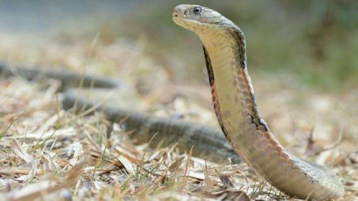 Kronologi Pria Injak & Pegang Ular King Kobra Pakai Tangan Kosong, Ingin Pamer Tapi Endingnya Tragis