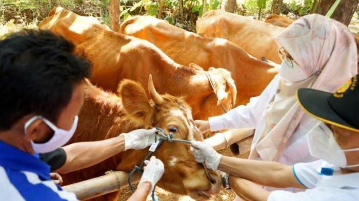 Bupati Banyuwangi Keliling Perkebunan, Hadirkan Layanan Kependudukan Sampai Ternak Sapi