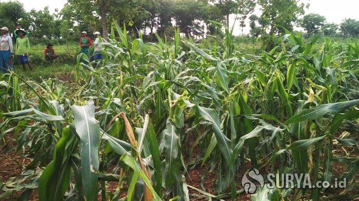 Petani Resah, Hama Tikus Teror Puluhan Hektare Tanaman Jagung di Tuban