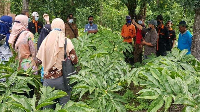 Kesalahan Petani dalam Pemupukan, Tiga Tahun Lagi 'Surga Porang' di Madiun Terancam Hancur