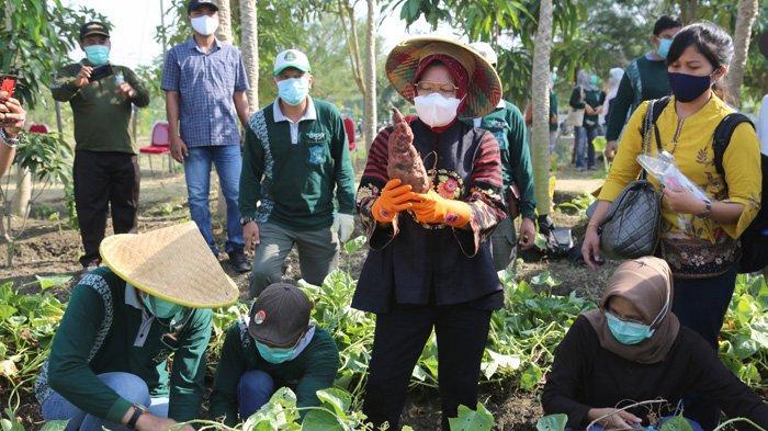 Wali Kota Surabaya, Tri Rismaharini melakukan panen raya, salah satunya di lahan BTKD Kelurahan Jeruk pada Rabu (23/9/2020).