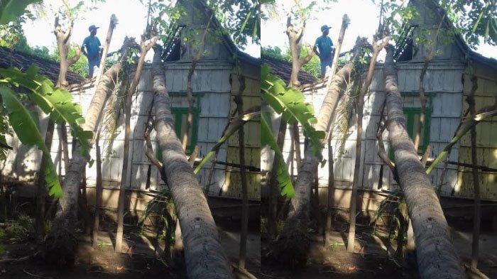 Ditinggal Pergi ke Sawah, Rumah Warga Situbondo Tertimpa Pohon Kelapa