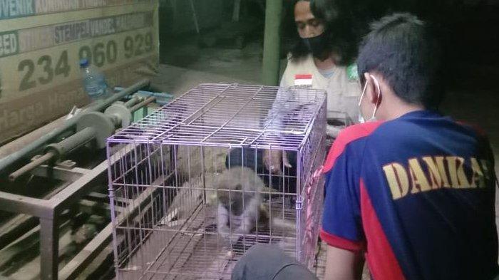 Monyet Bikin Resah Warga Desa Cekok Kabupaten Ponorogo, Suka Curi Anak Ayam dan Telur