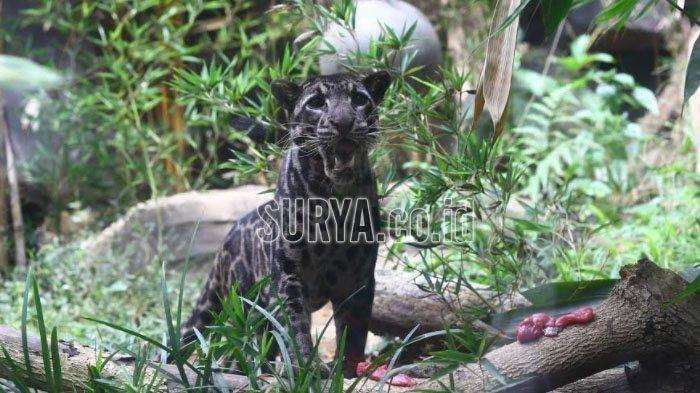 Spesies Macan Dahan yang berada di Batu Secret Zoo, Kota Batu. Batu Secret Zoo menjadi satu-satunya tempat di dunia yang memiliki dua spesies sekaligus.