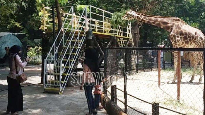 Sepekan Pasca Kembali Dibuka, Ada 10.000 Pengunjung ke Kebun Binatang Surabaya (KBS)