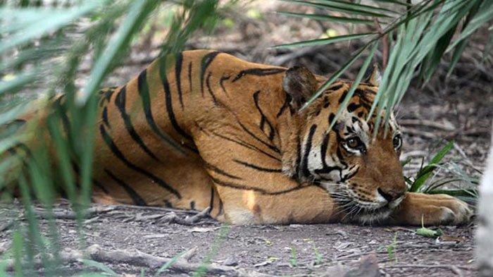 Terjadi Lagi Harimau Sumatera Terkam Warga Kampung di Riau, Mayat Pria Ditemukan Tewas Mengenaskan