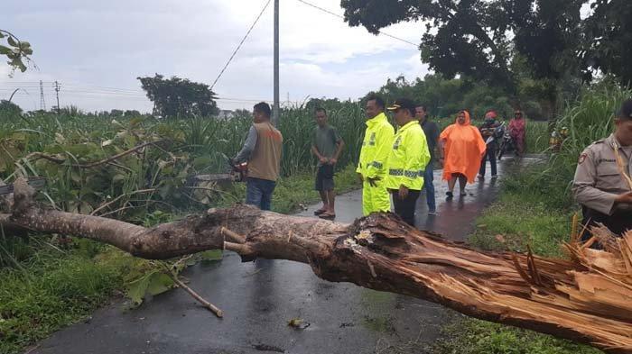 3 Pohon Tumbang Diterjang Hujan Deras dan Angin Kencang, BPBD Kota Kediri Langsung Lakukan Evakuasi