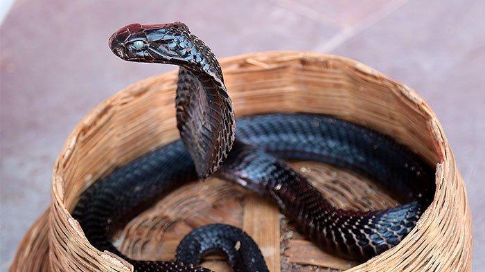 Ular Kobra Bermunculan Saat Musim Hujan di Rumah Warga, Penjelasan LIPI, Suka Tempat Hangat & Lembap