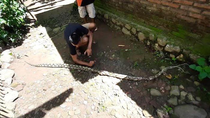 Warga Buru Ular Piton yang Mangsa Puluhan Ekor Unggas di Trenggalek