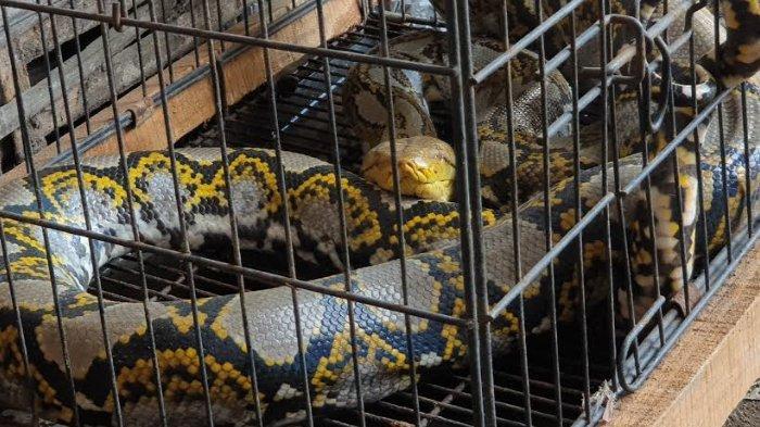 Warga Mojokerto Memburu Ular Piton Pemangsa Hewan Ternak di Dekat Makam