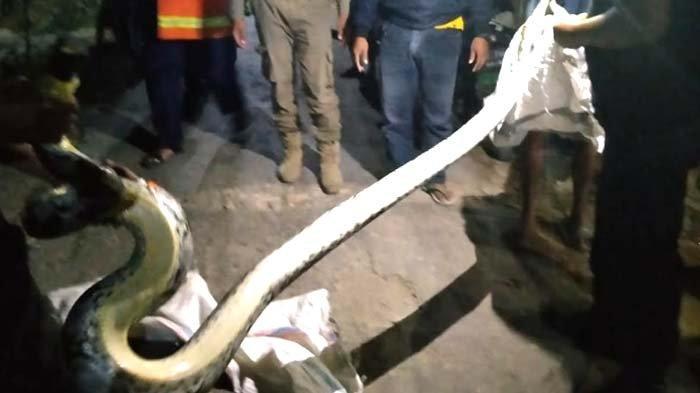 BREAKING NEWS - Heboh Ular Piton Sepanjang 3 Meter dan Berat 20 Kg sempat Resahkan Warga di Tuban
