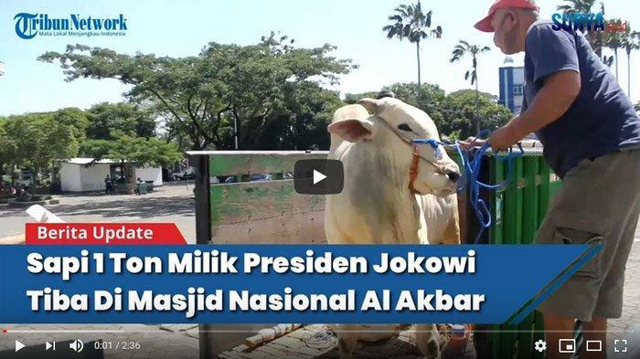 VIDEO Sapi Kurban 1 Ton Milik Presiden Joko Widodo Tiba di Masjid Al Akbar Surabaya