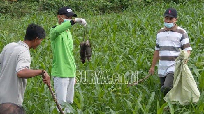 Hari Pertama Sayembara, Ratusan Tikus Disetor ke Balai Desa Salamrejo Trenggalek
