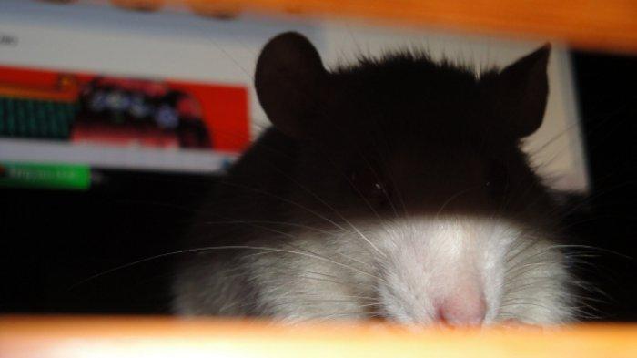 Waspada Penyakit Leptospirosis saat Musim Hujan, Ditularkan Lewat Kencing Tikus