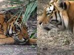 2-kasus-harimau-terkam-manusia-yang-menghebohkan-kejadian-terbaru-menimpa-wisatawan-asal-sekayu.jpg
