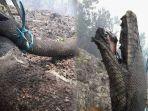 4-fakta-ular-piton-raksasa-yang-hangus-terbakar-ternyata-hewan-langka-di-pedalaman-hutan-kalimantan.jpg