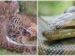 4-fakta-video-viral-pertarungan-sengit-ular-piton-vs-macan-tutul-warga-sampai-ramai-ramai-menonton.jpg