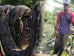 6-senjata-andalan-amad-si-pemburu-ular-yang-belah-perut-piton-15-meter-di-banjarmasin.jpg