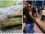 8-fakta-ular-piton-raksasa-yang-lilit-leher-maryadi-di-candi-lempung-ini-penyebab-nasib-terkini.jpg
