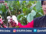 berita-banyuwangi-petik-kopi-banyuwangi_20170111_143754.jpg