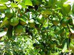 berita-gresik-pohon-jeruk-nipis_20170307_141032.jpg
