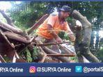 berita-situbondo-pohon-tumbang_20170118_192032.jpg