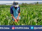 berita-tuban-petani-tembakau_20160823_153841.jpg