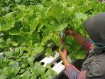 budidaya-sayuran-hidroponik.jpg