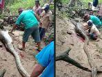 detik-detik-ular-piton-8-meter-dipenggal-perutnya-dibelah-ramai-ramai-begini-kronologi-videonya.jpg