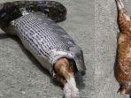 detik-detik-ular-piton-telan-bulat-bulat-kucing-seberat-3-kg.jpg