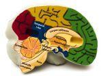 fungsi-hipotalamus-area-kecil-yang-terletak-di-bagian-tengah-otak.jpg