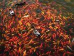 ilustrasi-aksi-nyeleneh-ikan-yang-viral-seperti-menari-di-kolam.jpg