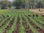 kegiatan-on-farm-yang-mulai-dilakukan-di-lahan-ptpn-xi.jpg