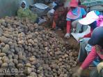 kentang-organik-ud-subur-makmur-kota-batu.jpg