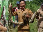 kepala-desa-banyuurip-kedamean-gresik-khoirul-muis-menangkap-ular-piton.jpg