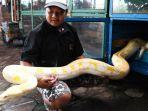 kolektor-ular-alvano-yudistira-menunjukkan-ular-reticulas-albino.jpg