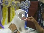 kontes-kucing-tunjungan-plaza-surabaya_20170924_211649.jpg