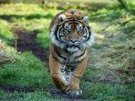 kronologi-gadis-diterkam-2-harimau-yang-dibesarkannya-sejak-kecil-tubuhnya-diseret-dicakar-cakar.jpg