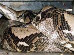 kronologi-ular-piton-45-meter-mati-terpanggang-demi-lindungi-20-telurnya-saat-kebakaran-hutan.jpg