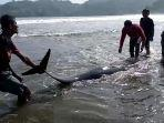 lumba-lumba-terdampar-di-pantai-sidem-tulungagung.jpg