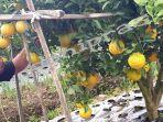 magetan-sukar-menunjukkan-jeruk-keprok-dekopon-alias-jeruk-jepang.jpg