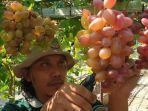 miqbal-penggagas-budidaya-anggur-di-dusun-desa-kedungmaling-kecamatan-sooko-mojokerto.jpg