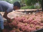 nganjuk-petani-bawang-merah-di-nganjuk-siap-menjual-hasil-panennya-ke-pasar.jpg